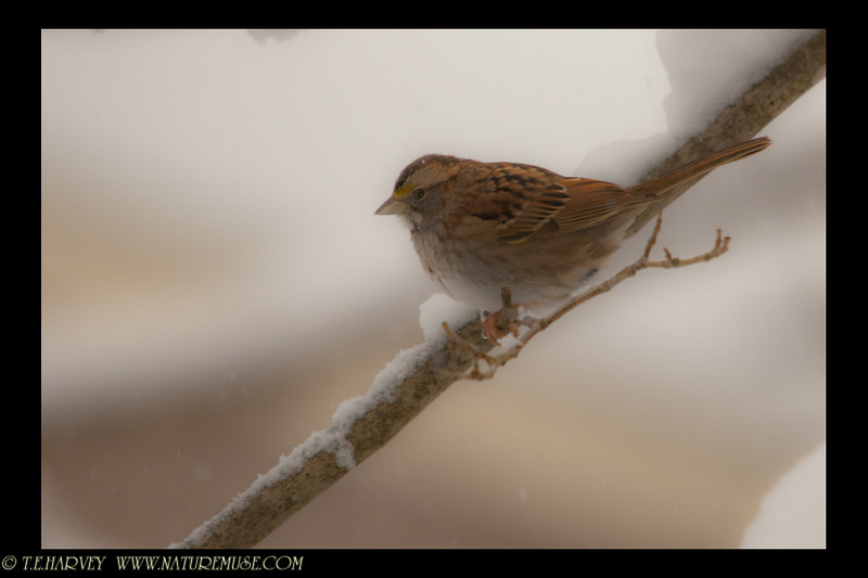 Sparrow resting in the Blizzard of 2010.