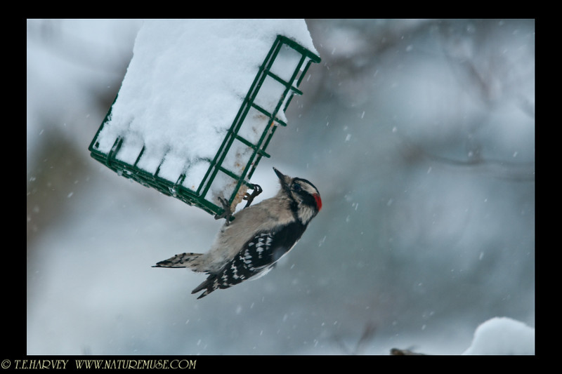 Downy woodpecker ready for a meal