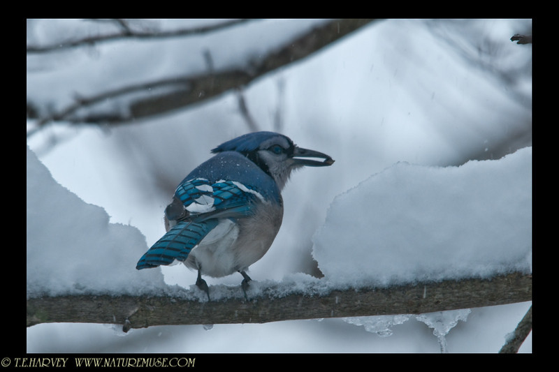 Blue-jay ready to eat