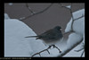 Chilly junco