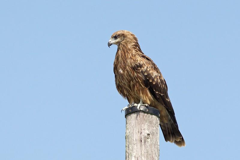 Brun Glada,   black kite (Milvus migrans)