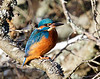 Kungsfiskare (Alcedo atthis) Common kingfisher