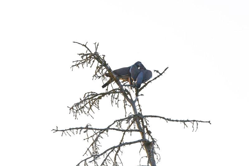 Turturduva - Turtle Dove - Streptopelia turtur<br /> Möja, Stockholms skärgård<br /> <br /> <br /> .
