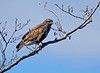 Ormvråk (Buteo buteo) Common buzzard