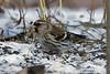 Gråsiska (Acanthis flammea) Common redpoll