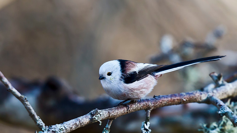 Stjärtmes (Aegithalos caudatus),Long-tailed tit