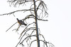 Turturduva - Turtle Dove - Streptopelia turtur<br /> Möja, Stockholms skärgård<br /> <br /> <br /> <br /> .