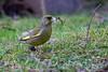 Grönfink, Caduelis chioris