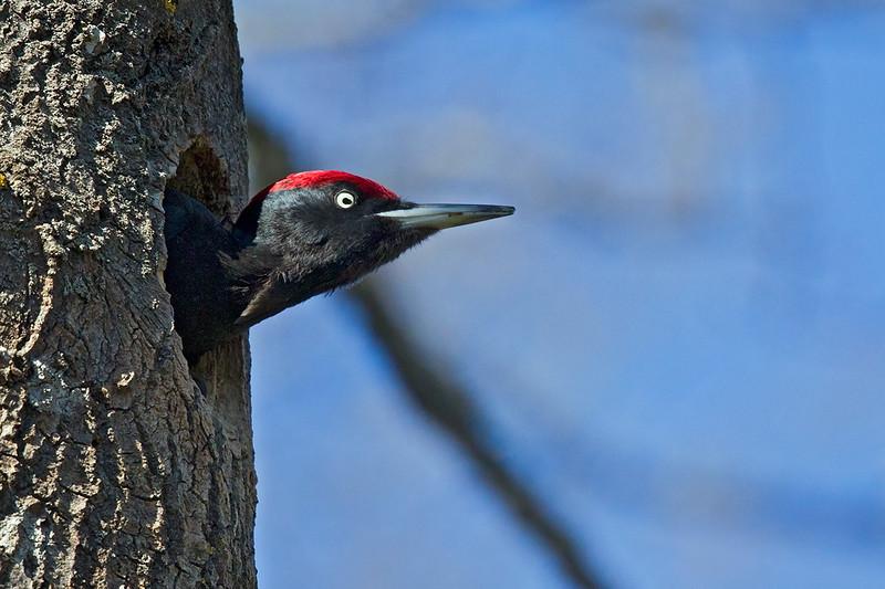 Spillkråka (Dryocopus martius) Black woodpecker