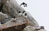 Alkekung - little auk - Alle alle<br /> Svalbard<br /> <br /> .