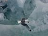 Tretåig mås<br /> Svalbard<br /> <br /> <br /> .
