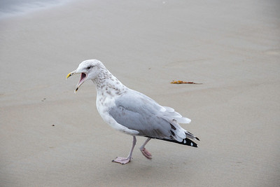 Seagull walking with mouth open