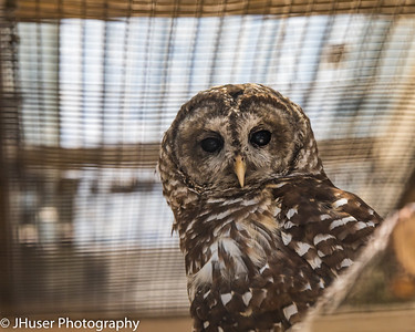 Barred Owl looking at the camera
