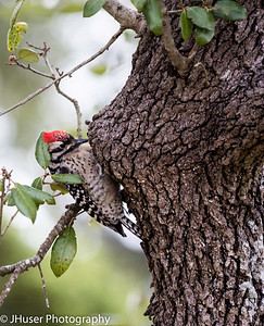 Ladder-backed Woodpecker on oak tree