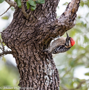 Ladder-backed Woodpecker hanging on oak tree
