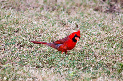 Male cardinal looking for seeds