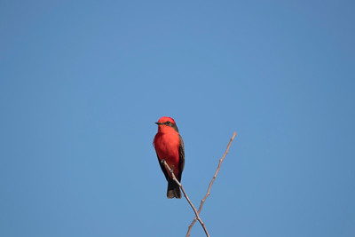 One Vermillion Flycatcher songbird perched on twig