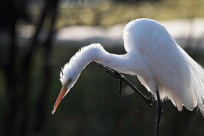 White Egret in sunlight