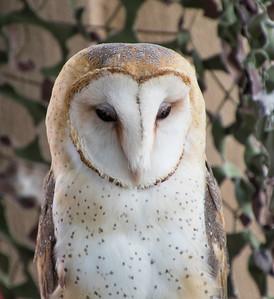 Barn Owl watching