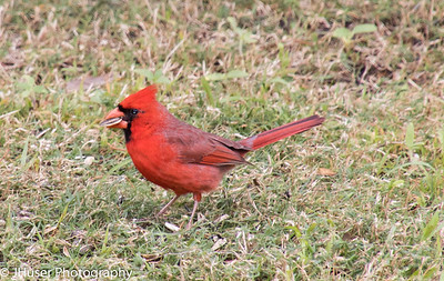 Male Cardinal with sunflower seed in beak