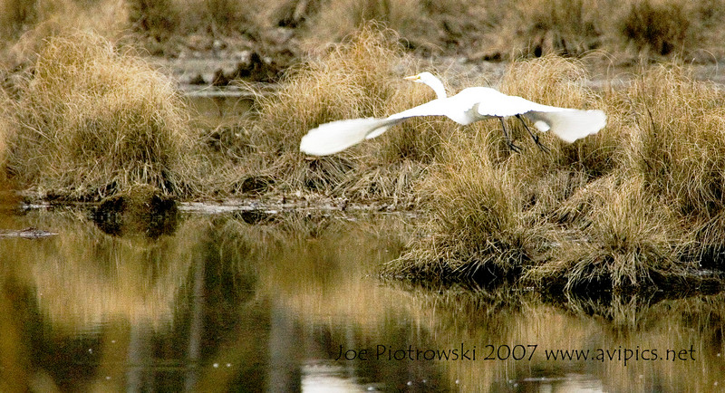 Images of Great Egrets in swamp off Parkway