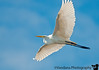 January 2, 2012 - Flying high - an egret in flight at Ding Darling NWR, Sanibel Island, FL. sorry I clipped his wings a little bit !