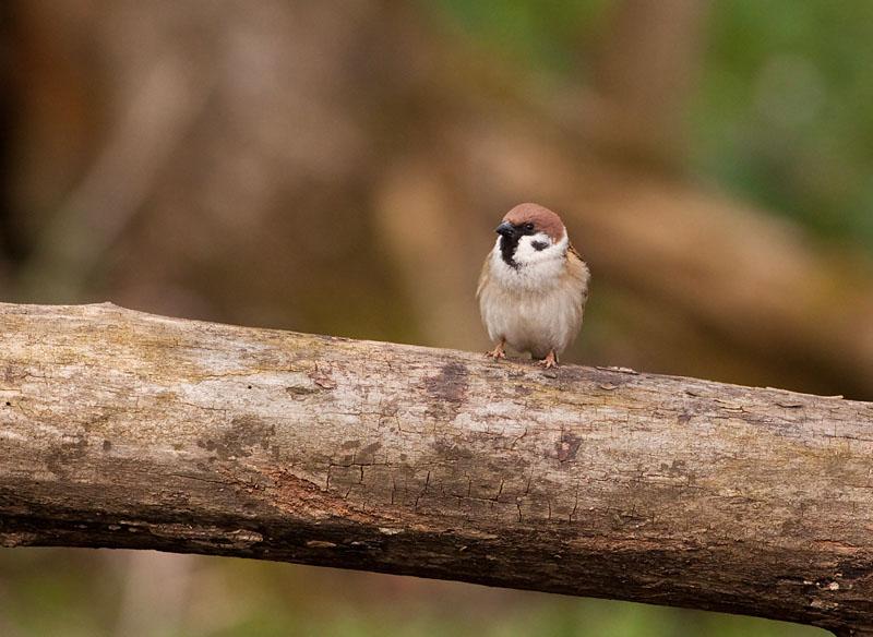 Pilfink (Passer montanus) Eurasian Tree Sparrow