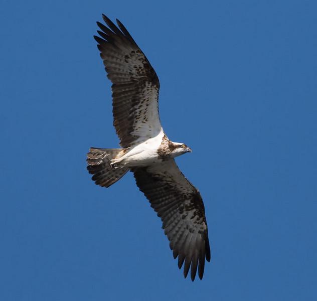Fiskgjuse (Pandion haliaetus) Osprey
