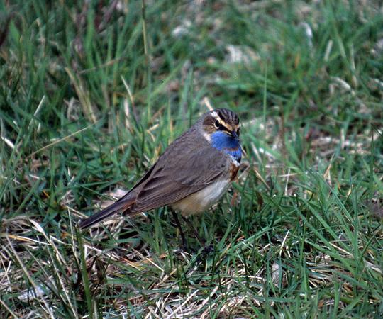 Blåhake (Luscinia svecica) Bluethroat