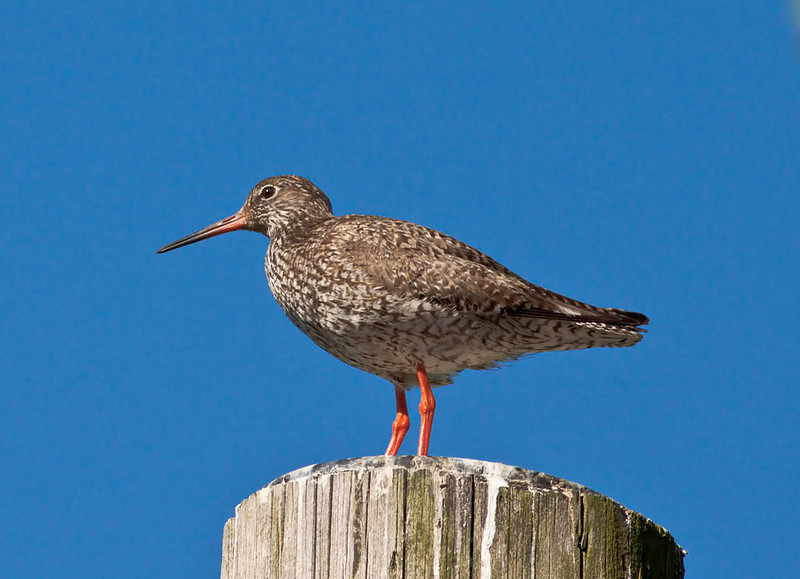 Rödbena (Tringa totanus) Common Redshank