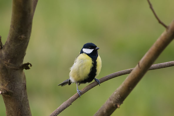 Talgoxe (Parus major) Great Tit
