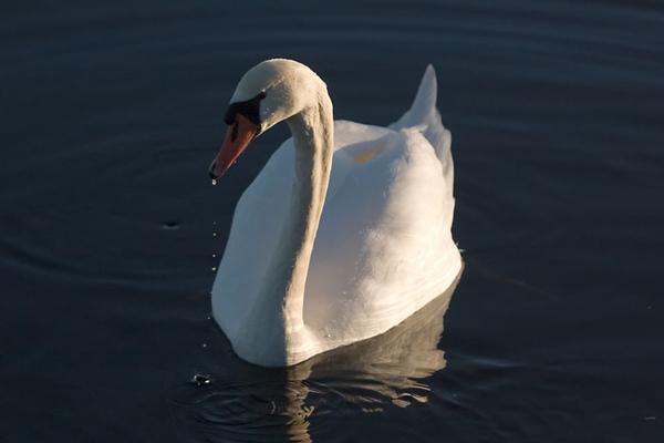 Knölsvan (Cygnus olor) Mute Swan