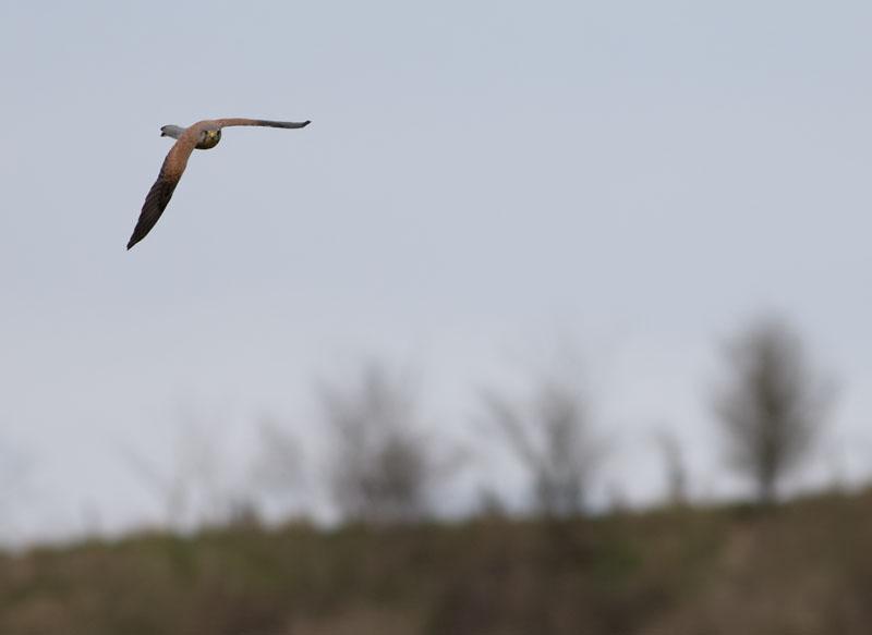 Tornfalk (Falco tinnunculus) Kestrel
