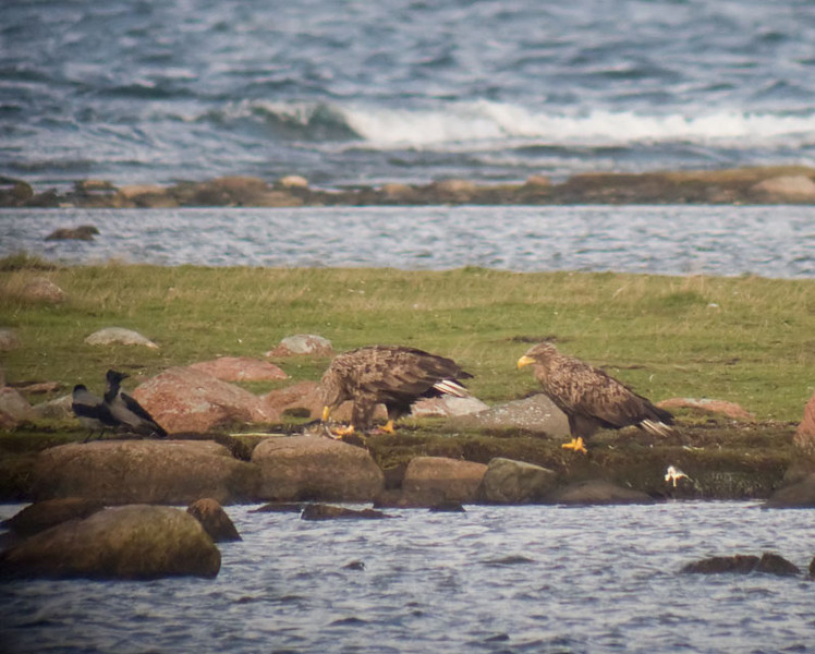 Havsörn (Haliaeetus albicilla) White-tailed Eagle<br /> Photographed thru my spotting scope, there off the low quality