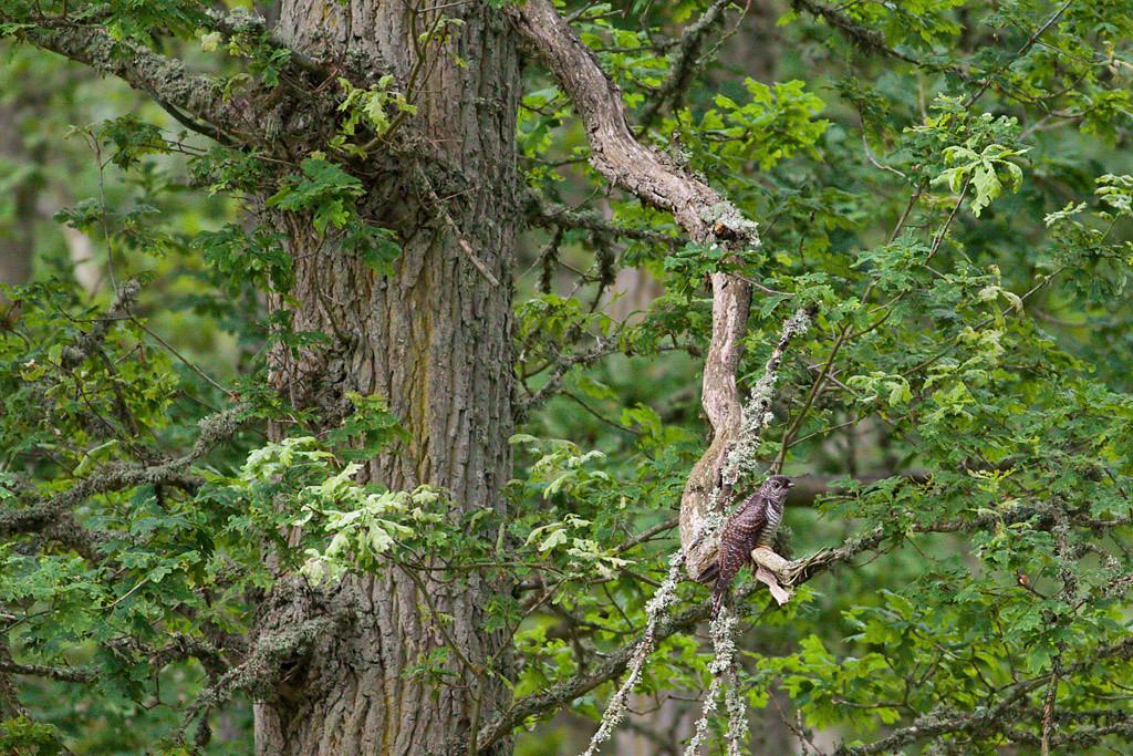 Gök  (Cuculus canorus) Common Cuckoo