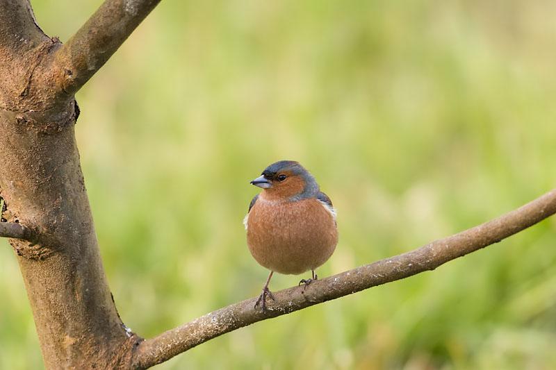 Bofink (Fringilla coelebs) Chaffinch