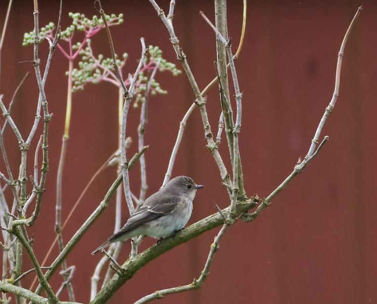 Grå flugsnappare (Muscicapa striata) Spotted Flycatcher