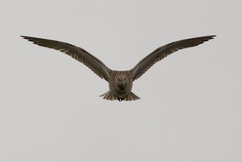 Storspov (Numenius arquata) Curlew