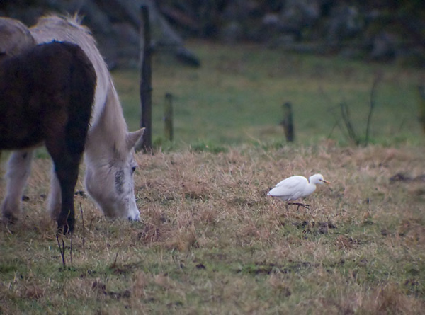 Kohäger (Bubulcus ibis) Cattle Egret