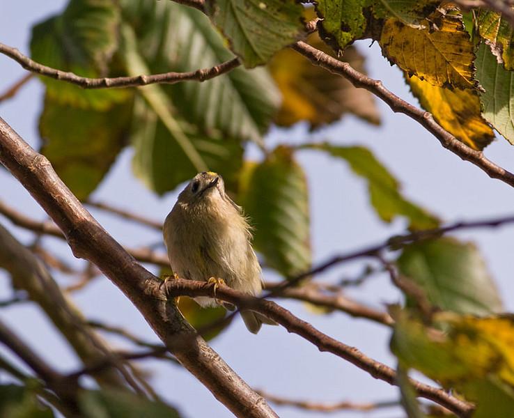 Kungsfågel (Regulus regulus) Goldcrest