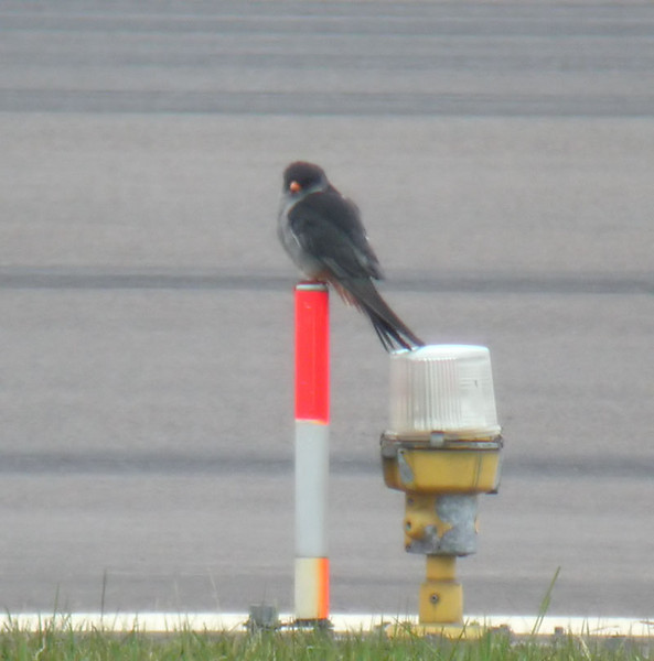 Amurfalk (Falco amurensis) Amur Falcon<br /> First time ever in Sweden at Kalmar airport.