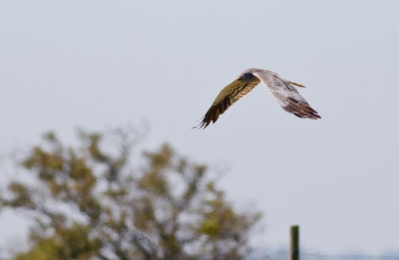 Ängshök (Circus pygargus) Montagu´s Harrier