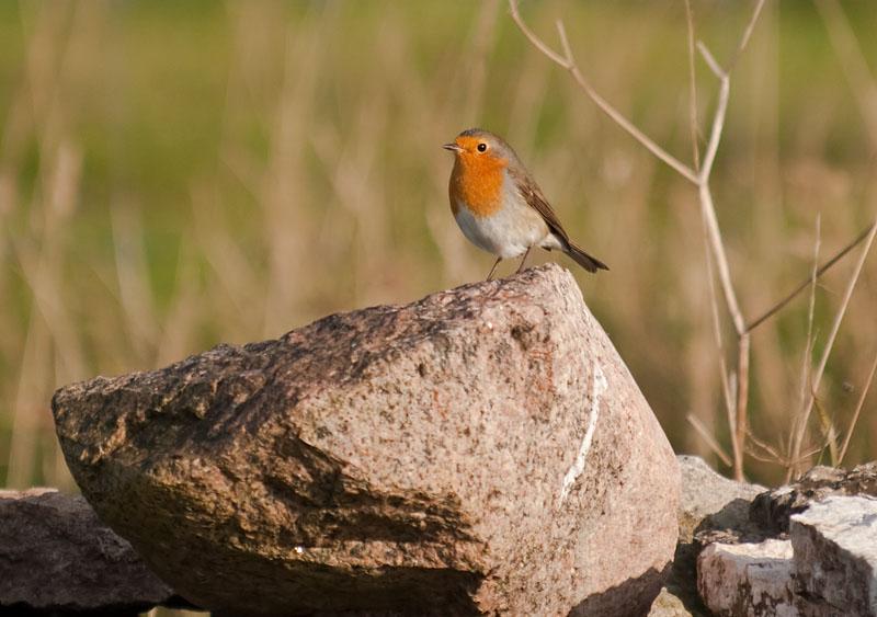 Rödhake (Erithacus rubecula) Robin