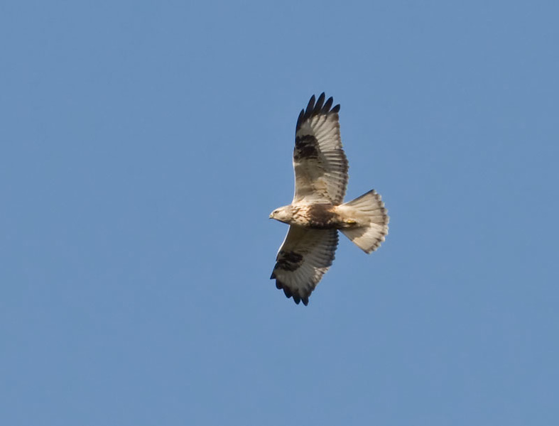 Fjällvråk (Buteo lagopus) Rough-legged Buzzard
