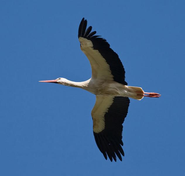Vit Stork (Ciconia ciconia) White Stork