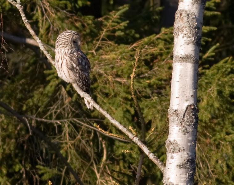 Slaguggla (Strix uralensis) Ural Owl<br /> Ålem, Småland.