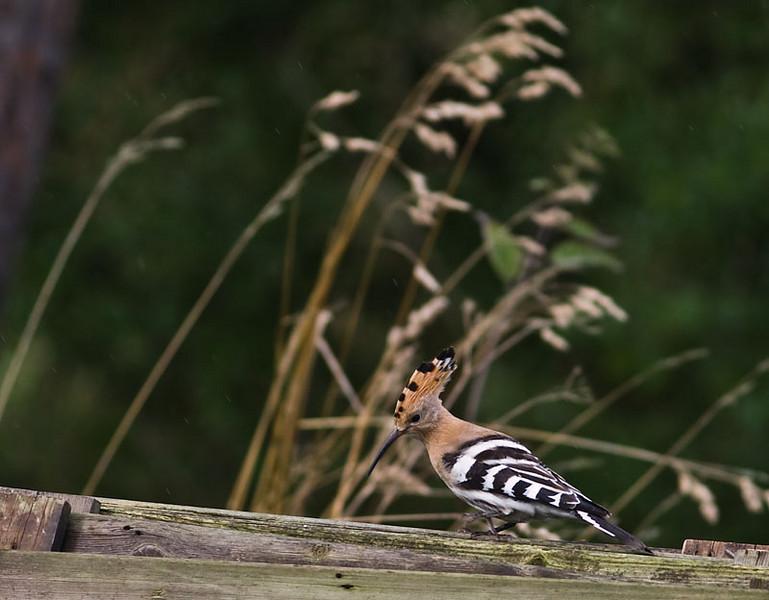 Härfågel (Upupa epops) Hoopoe