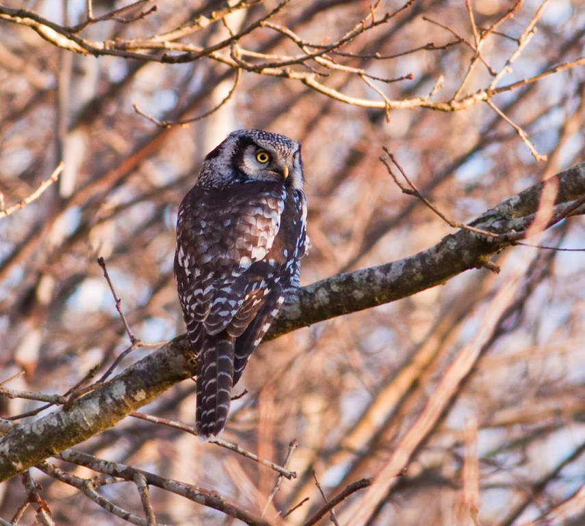 Hökuggla (Surnia ulula) Northern Hawk Owl