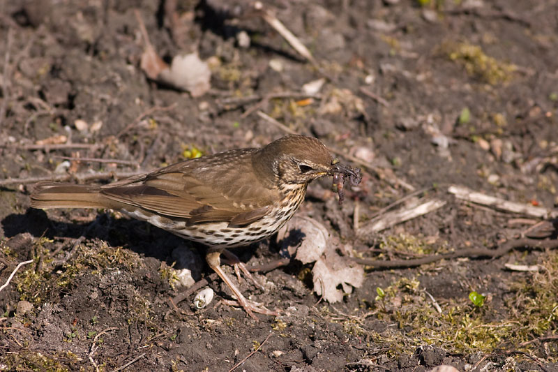 Taltrast (Turdus philomelos) Song Thrush