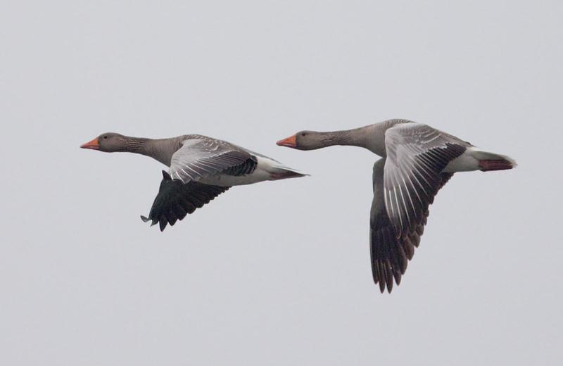 Grågås (Anser anser) Greylag Goose